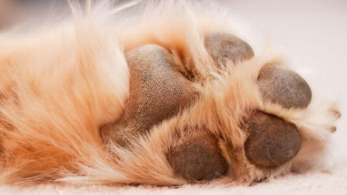 imagen relacionada con las almohadillas de tu mascota
