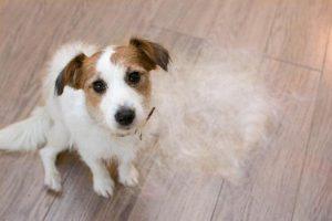 imagen relacionada con la muda de pelo en perros
